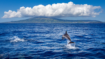 Dolphin jumping out of the water, island of Faial (Azores) in the background.