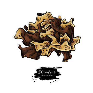 Wood ear mushroom hand drawn vector illustration.
