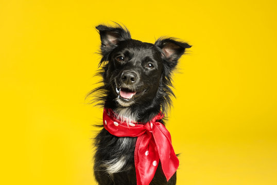 Cute black dog with neckerchief on yellow background