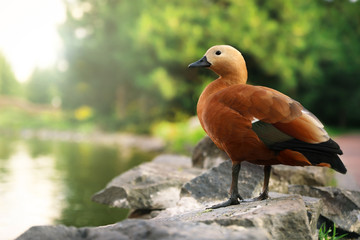 Brown duck in park on sunny day Fotoväggar