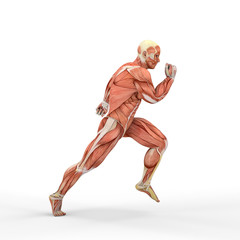 3D rendering of a male figure with muscle maps isolated on white background