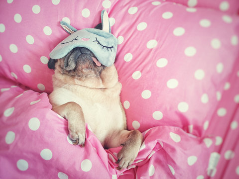 Cute pug dog sleep rest with funny mask in the bed, wrap with blanket and tongue sticking out in the lazy time.