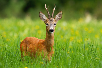 Roe deer, capreolus capreolus, buck facing camera standing in tall green grass with blooming yellow wildflowers in background. Wild deer animal with antlers in fresh summer nature. Wall mural
