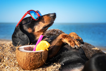Photo sur Toile Chien beautiful dog of dachshund, black and tan, buried in the sand at the beach sea on summer vacation holidays, wearing red sunglasses with coconut cocktail