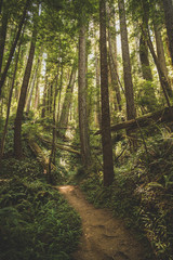 Beautiful and mysterious hiking trail through lush green old growth redwood forest
