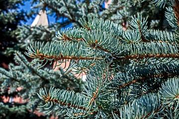 Fototapete - blue spruce branch in the garden, macro