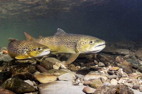 Brown trout (Salmo trutta) preparing for spawning in small creek. Beautiful salmonid fish in close up photo. Underwater photography in wild nature. River habitat.