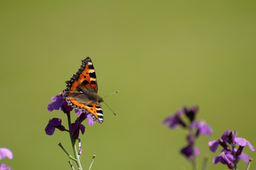Painted Lady Butterfly, United Kingdom