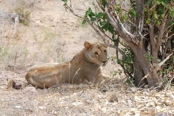 Lion, Tsavo national park Kenya