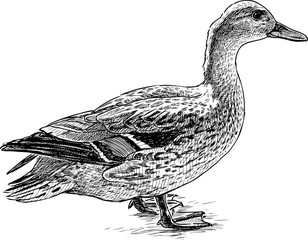 Fototapeta Sketch of a standing wild drake obraz