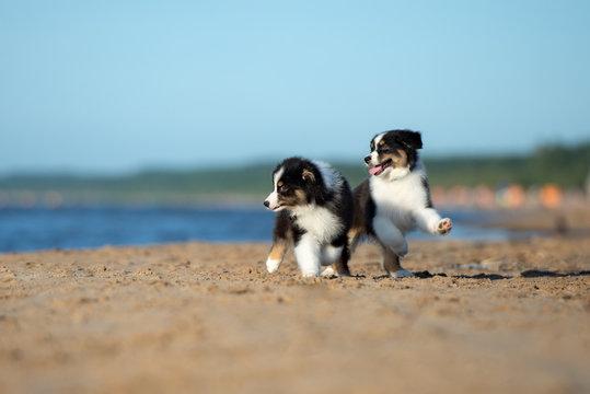 two australian shepherd puppies playing on the beach