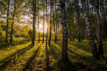 Sunrise in a birch forest on a sunny summer morning with fog.