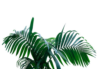 Wall Mural - Dark green leaves of rainforest palm tree the tropical foliage plant isolated on white background, clipping path included.