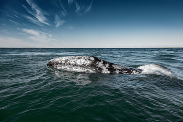 Grey whale surfaces in Baja California on Mexico's Pacific coast