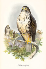 Eagle on top of a tree. It stands on a branch with one foot. Old colorful illustration of Common Buzzard (Buteo buteo). By John Gould publ. In London 1862 - 1873