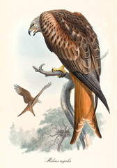 Bird of prey in back view screaming on a dry branch. Old colorful and detailed illustration of Red Kite (Milvus milvus). By John Gould publ. In London 1862 - 1873