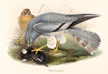 Bird of prey attacking and eating a mole in the grass. Old colorful and detailed illustration of Western Banded Snake Eagle (Circaetus cinerascens). By John Gould publ. In London 1862 - 1873