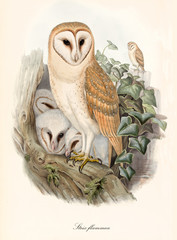 Barn owls family on a branch in the vegetation. Old colorful and detailed illustration with isolated elements of Barn Owl (Tito alba). By John Gould publ. In London 1862 - 1873