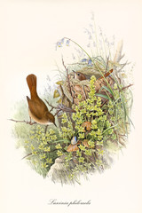 Couple of brown little birds in the vegetation, one of them is in its nest. Old detailed and colorful illustration of Common Nightingale (Luscinia megarhynchos). By John Gould, London 1862 - 1873