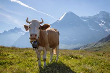 Wall Murals Cow Beautiful idyllic alpine landscape with swisss cow, Alps mountains, Switzerland