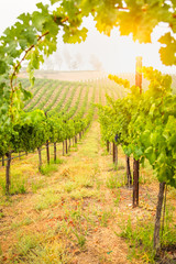 Aluminium Prints Orange Beautiful Wine Grape Vineyard In The Morning Sun