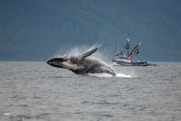 Breaching Humpback Whale and Fishing Boat