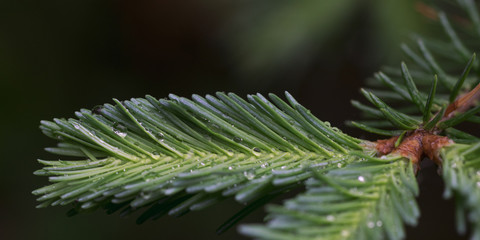 Obraz Rain Drops on Balsam Fir - fototapety do salonu