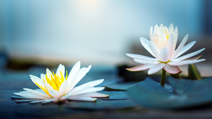 Photo Stands Water lilies beautiful Blooming Lotus or waterlily Flower in pond
