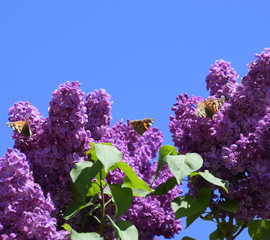 Foto op Aluminium Lilac Butterfly Vanessa cardui on lilac flowers. Pollination blooming