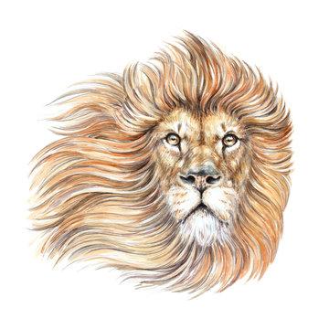 Watercolor drawing lion head, portrait, mane