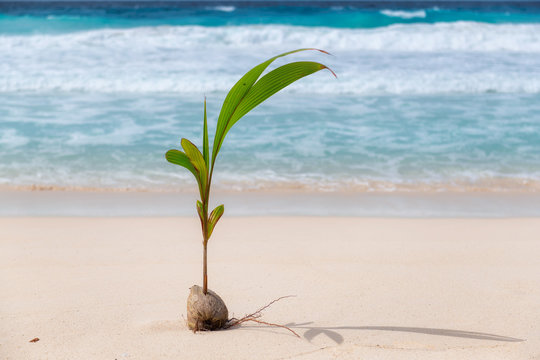 Young coconut palm tree on the beach sand in tropical island.