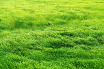 Foto auf Acrylglas Lime grun landscape of beautiful fresh grass field background