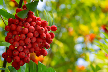 Ripe red bunches of rowan on a tree in late summer, close up
