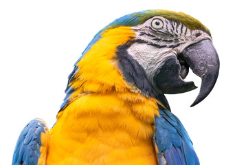Blue-and-yellow macaw - isolated on white background