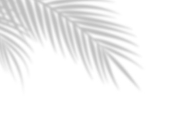 Shadow from palm leaves on a white wall background. White background, cardboard. Abstract image. Tropic concept