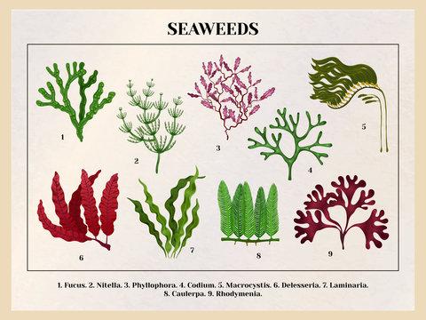 Seaweeds Botanical Background Chart