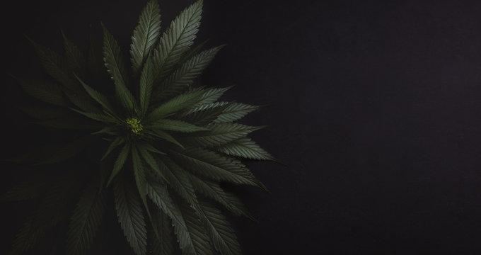 Bush of fresh marijuana on a dark black background.