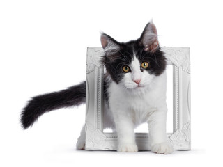 Wall Mural - Cute black / white harlequin Maine Coon cat kitten, standing through white photo frame. Looking straight ahead with bright eyes. Isolated on white background.