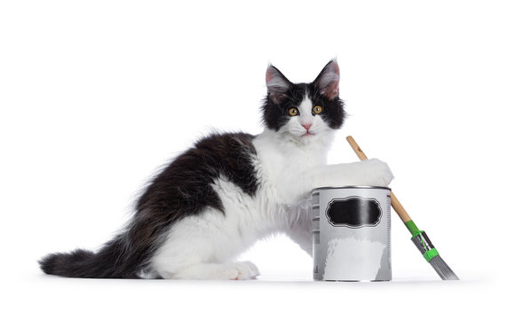 Cute black / white harlequin Maine Coon cat kitten, playing / lsitting side ways beside paint can. Looking straight ahead with bright eyes. Isolated on white background. Holding brush in one paw.