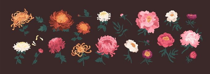 Fototapeta Bundle of blooming peonies and chrysanthemums isolated on black background. Set of flowers and decorative flowering plants. Collection of elegant floral decorations. Natural vector illustration. obraz