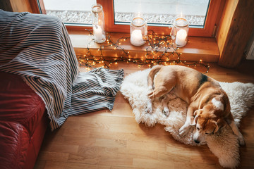beagle dog slipping on sheepskin on the floor in cozy home atmosphere with candles on the windowsill. Peaceful moments of cozy home concept image.