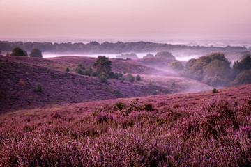 Papiers peints Grenat Posbank netherlands, misty foggy sunrise over the national park Veluwezoom Posbank Netherlands, heather flowers in blooming, purple hills
