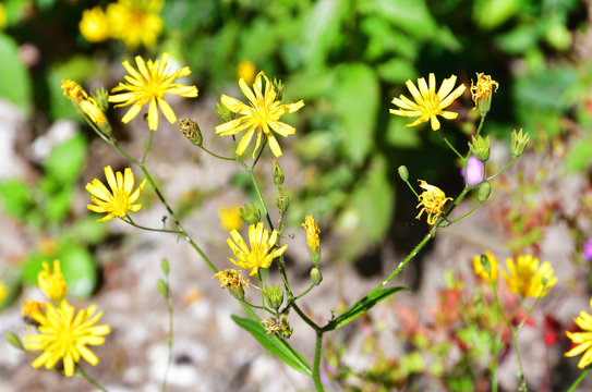 Lapsana communis L. (family Asteraceae) . in the mountains of Abkhazia