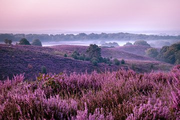 Fotobehang Aubergine Posbank national park Veluwezoom, blooming Heather fields during Sunrise at the Veluwe in the Netherlands, purple hills of the Posbank