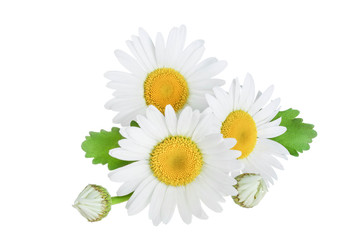 one chamomile or daisies with leaves isolated on white background