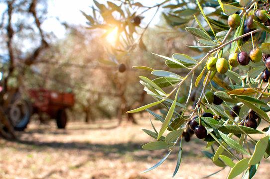Ripe olives on olive trees