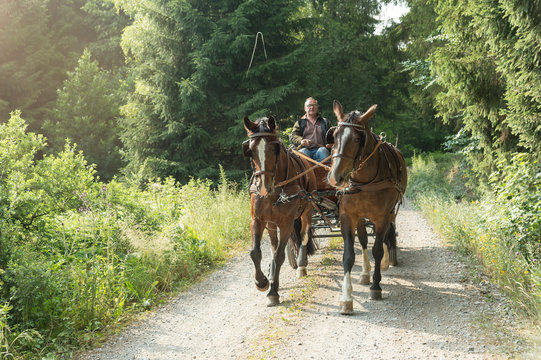 A 60 year old man drives a carriage with two horses (Saxon Thuringian heavy warm blood). He comes from the forest. The sun is shining in the summer.