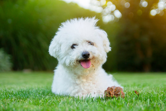 Bichon Frise dog lying on the grass with its tongue out