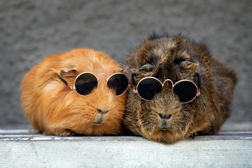 two funny guinea pigs in sunglasses