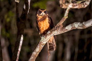 Tawny browed Owl photographed in Linhares, Espirito Santo. Southeast of Brazil. Atlantic Forest Biome. Picture made in 2012.